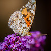 Painted Lady - 13 Sept 2019
