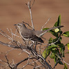 Northern Mockingbird - 25 Jan 2011