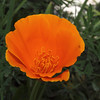 California Poppy - 3 Mar 2010