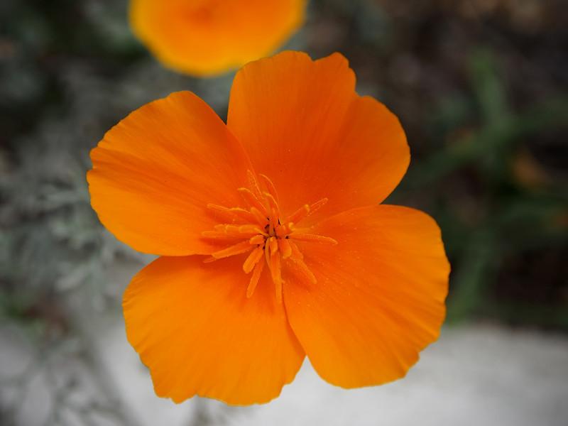 California Poppy - 10 May 2012