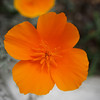 California Poppy - 10 May 2012