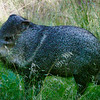 Javelina (Collared Peccary) - 9 Oct 2019