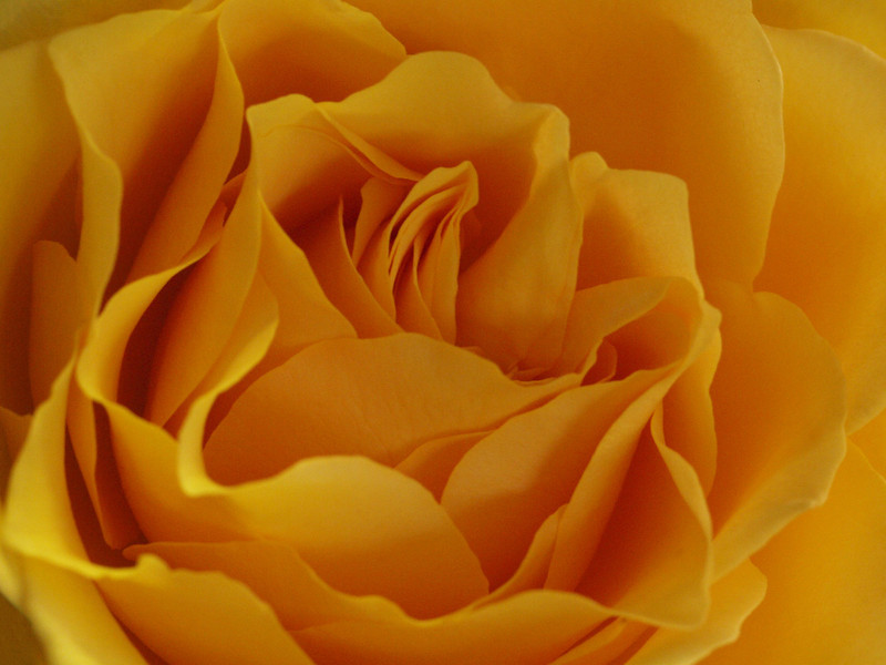 Yellow Rose - 9 Apr 2010