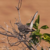 Northern Mockingbird - 10 Jan 2011