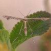 Plume Moth in back yard - 3 July 2011