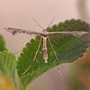 Plume Moth in back yard - 3 July 2011