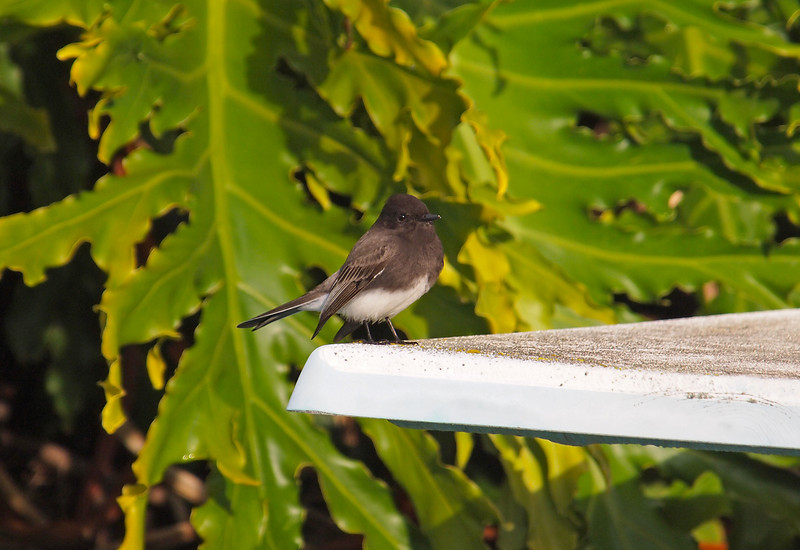 Black Phoebe - 7 Jan 2011