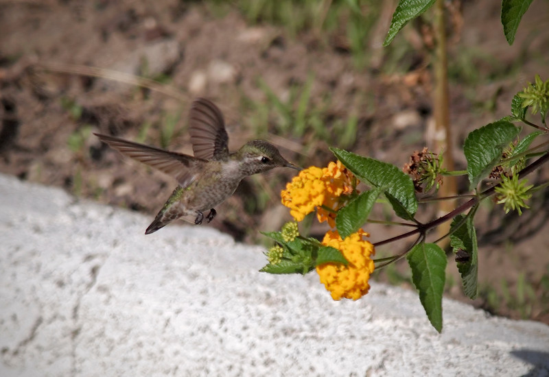 Hummingbird - 14 Oct 2011