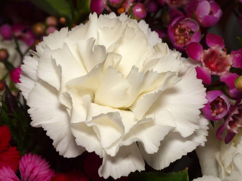 White Carnation - 20 Feb 2010