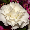 White Carnation - 20 Feb 2010