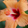 Hybiscus - 18 Oct 2010