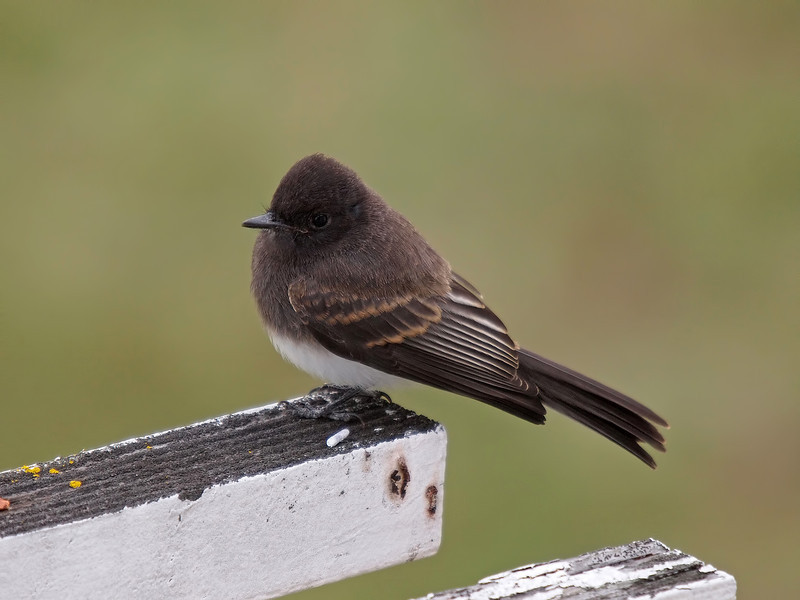 Black Phoebe in the Back Yard - 29 May 2011