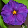 Potato Vine Flower - 16 Dec 2009