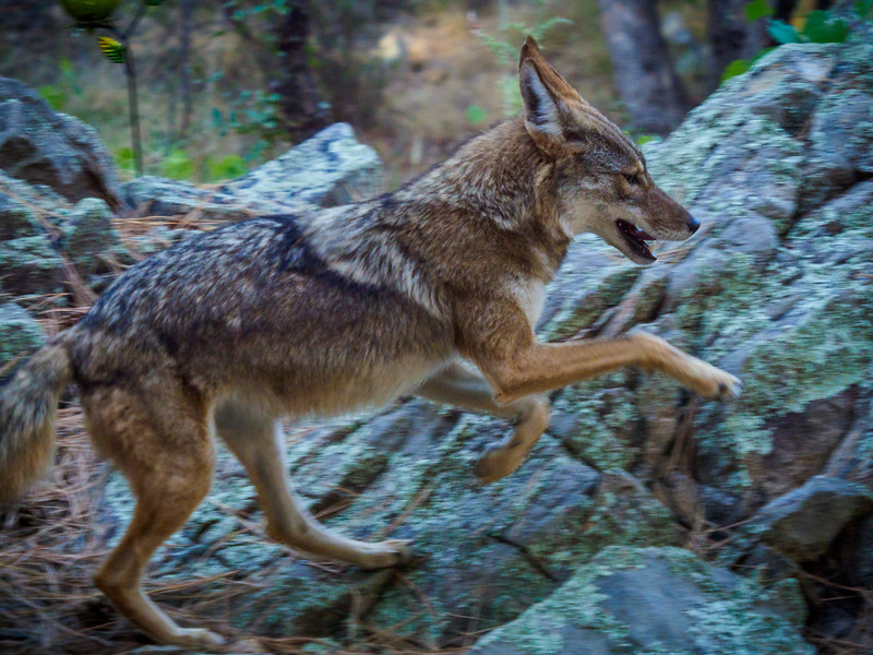 Coyote - 19 Sept 2019