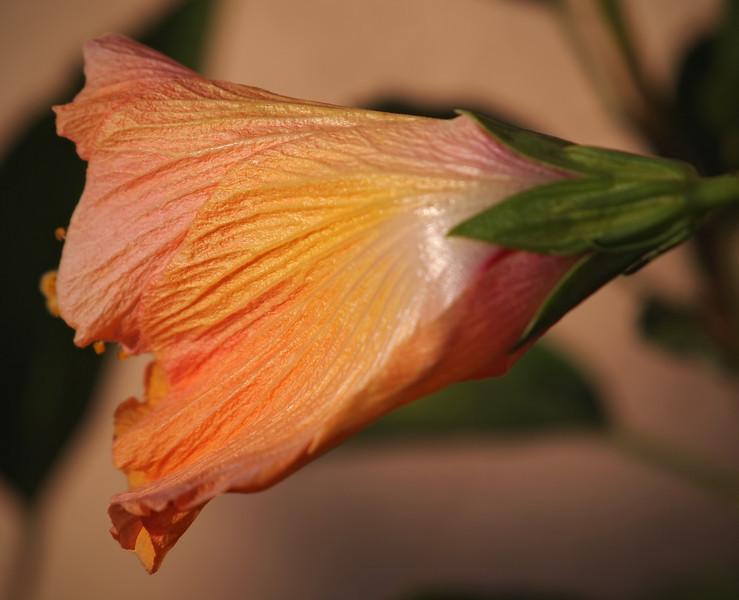 Hibiscus - 20 Sept 2011