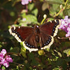 Mourning Cloak - 26 Jan 2012