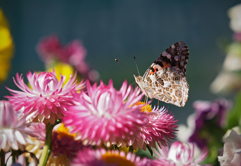 Painted Lady at the Nursery - 28 Oct 2012