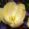 Yellow Tulip - 20 Feb 2010