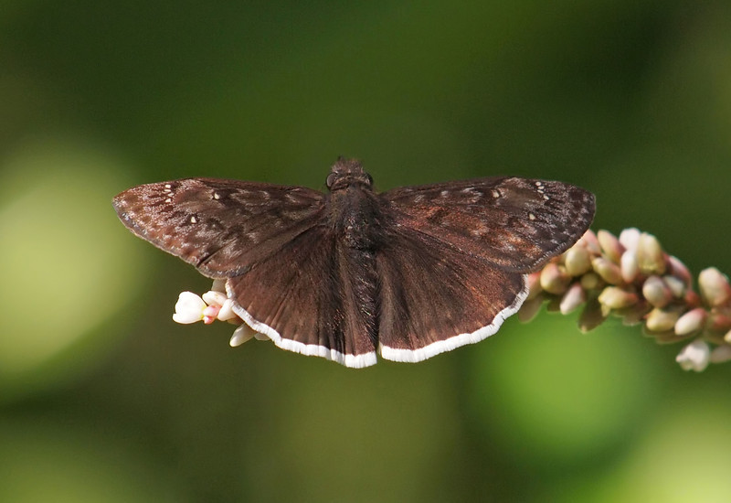 Funereal Duskywing at El Dorado Park Nature Center - 28 Aug 2011