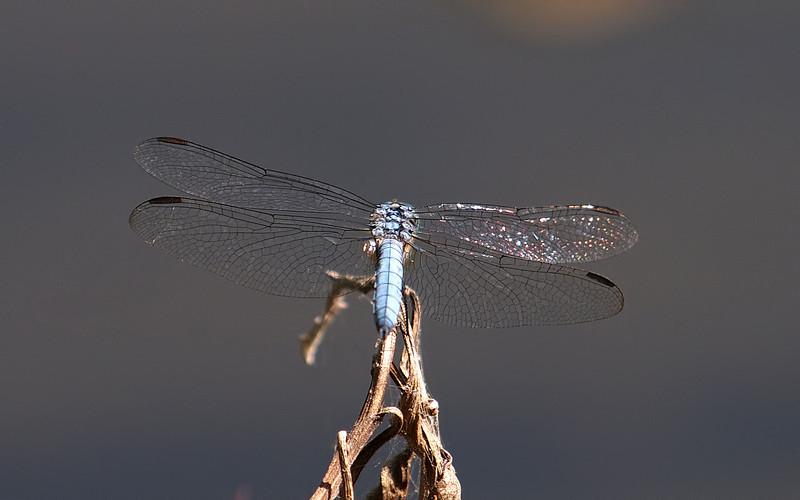 Dragonfly at El Dorado Park Nature Center - 28 Aug 2011