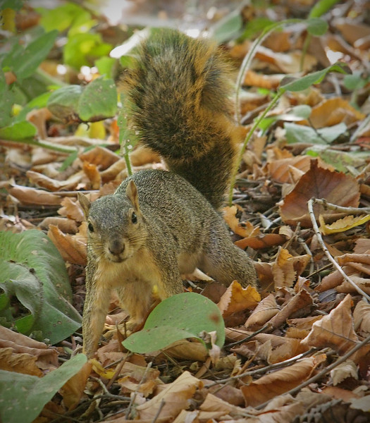 Squirrel at El Dorado Park Nature Center - 28 Aug 2011