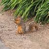 Squirrel at the LA County Arboretum - 6 Mar 2011