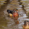 Wood Ducks at the LA Country Arboretum - 6 Mar 2011