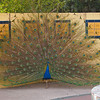 Peacock at the LA Country Arboretum - 6 Mar 2011