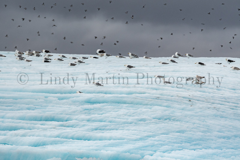 Puffins on an iceberg   NEWFOUNDLAND  © Lindy Martin