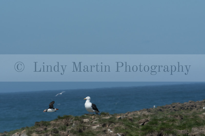 Puffins of Newfoundland at Elliston  © Lindy Martin