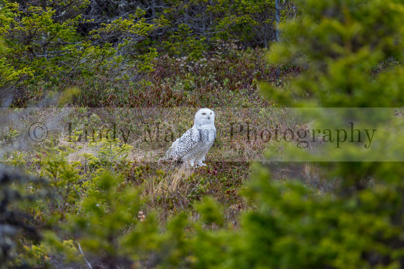 Snowy owl of Newfoundland in spring © Lindy Martin
