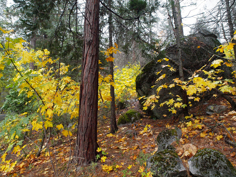 Foliage in Yosemite Valley - 23 Oct 2010