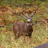 Mulie buck in Yosemite Valley - 23 Oct 2010
