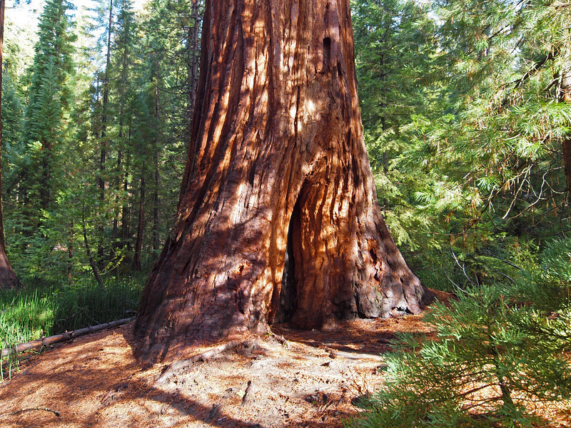 Mariposa Grove of Sequoias - 25 Oct 2010