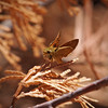 Skipper in Yosemite Valley - 10 Aug 2011