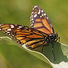 Monarch in Yosemite Valley - 10 Aug 2011