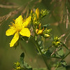 St John's Wort in Yosemite Valley - 10 Aug 2011