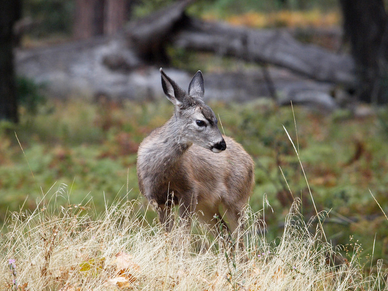 Mulie fawn in Yosemite Valley - 23 Oct 2010