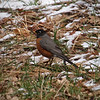 American Robin in Yosemite Valley - 8 Apr 2011