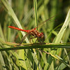 Dragonfly in Yosemite Valley - 10 Aug 2011