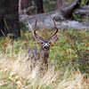 Mulie buck in Yosemite Valley - 23 Oct 2010