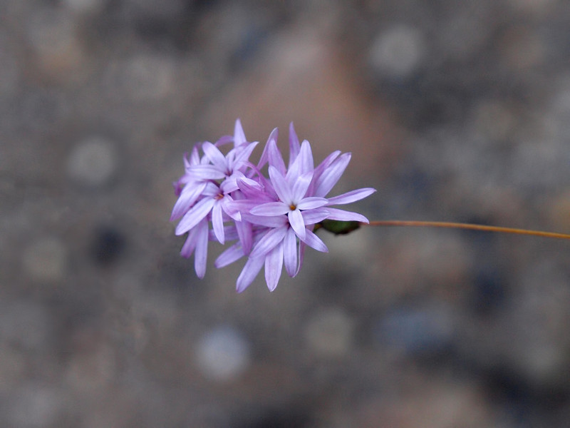 Small Flower in Yosemite Valley - 22 Oct 2010
