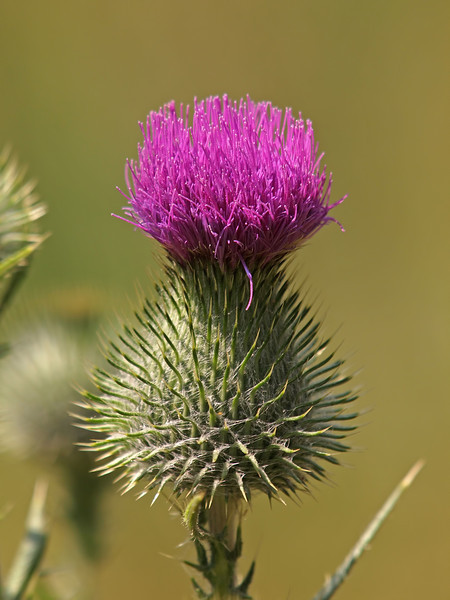 Bull Thistle in Yosemite Valley - 10 Aug 2011