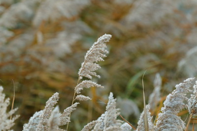 Frost-bited Flowers of Reed — Dércsípte nádvirágok