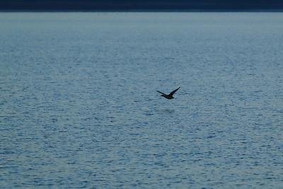 Mallard Airborne — Repülő vadkacsa