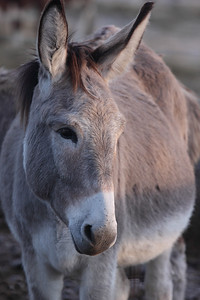 Donkey Portrait — Csacsiportré