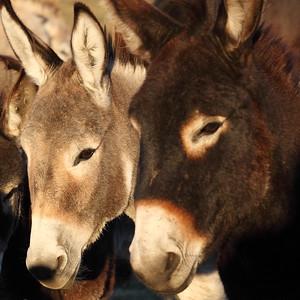Donkeys — Csacsik