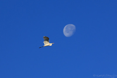 The Egret and the Moon — A kócsag és a Hold