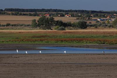 White Egrets and a Grey Heron at the Fish Pond — Nagykócsagok és egy szürke gém a halastónál