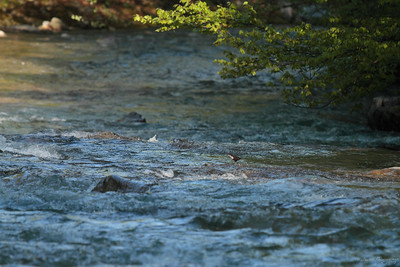 White-throated dipper (Cinclus cinclus aquaticus) at Crișul Pietros / Vízirigó a Köves-Kőrösben
